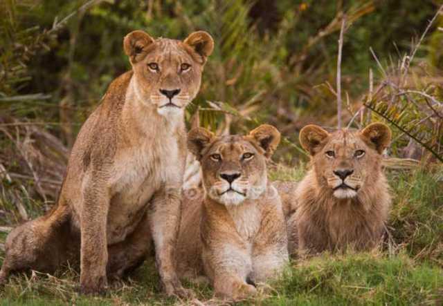 3 LIONESS PIC