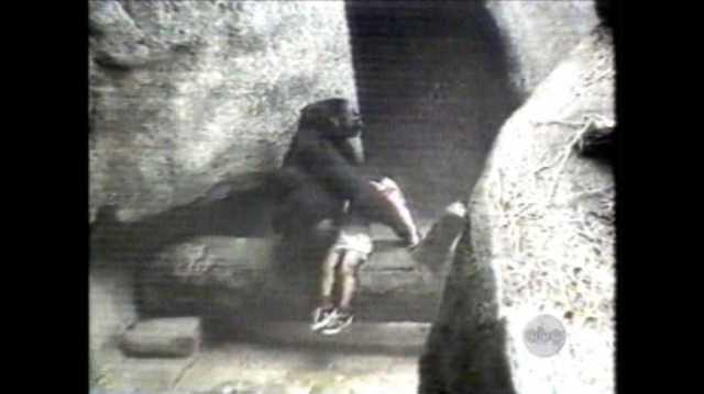 gorilla_ABCNews-Go.com